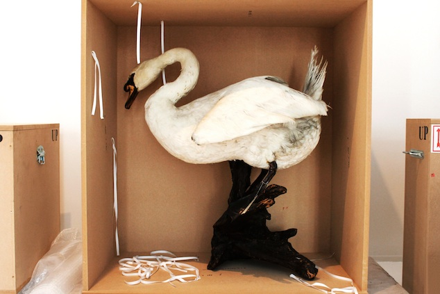 Stuffed swan from the Antwerp Zoo study collection to be transported for the Birds of Paradise expo at MoMu Antwerp, Photo: Monica Ho