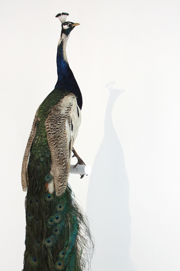 Stuffed peacock from the Antwerp Zoo study collection arrived safely at MoMu Antwerp for the Birds of Paradise expo, Photo: Monica Ho