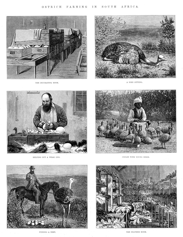 Ostrich Farming in South Africa, The Illustrated London News, March 30 1878, Mary Evans Picture Library